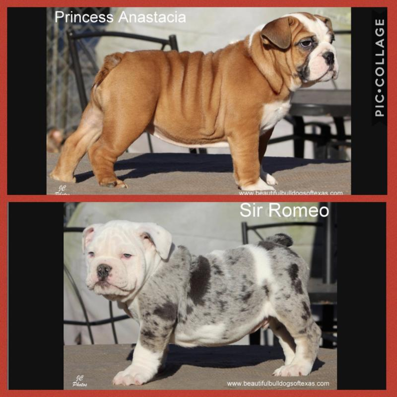Beautiful Bulldogs Of Texas - *All Bulldogs are AKC Certified*